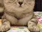 合肥哪里有苏格兰折耳 高地折耳猫卖 疫苗已做保健康