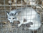 上海宠物狐狸多少钱,好养吗