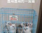 纯家养银渐层短毛猫宝宝出售
