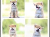 本地哪里有宠物店 柴犬日系
