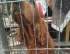 家养美卡三条 出售罗威纳幼犬