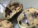 安布种龟养定出