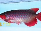 观赏鱼金龙鱼红龙鱼米特拉红龙魟鱼过背辣椒