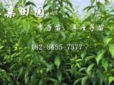 重庆璧山青脆李子树苗主产地,一亩青脆李苗产量多少?