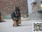德国牧羊犬大概多少钱 哪里出售德国牧羊犬幼犬 德国牧羊犬图片