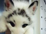 出售一只宠物雪狐