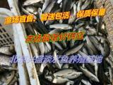 渔场供应优质养殖鱼苗,养殖草鱼苗 养殖鲤鱼苗等 管送包活