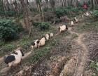 广东佛山巴马香猪哪里有得卖多少钱一斤