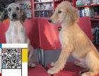 专业繁殖 阿富汗猎犬 ,包纯种签协议