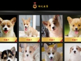 柳州出售经典三把火双蓝眼 堪称最帅名犬 高品质哈士奇幼犬待售
