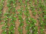 桂林章姬草莓苗 奶油草莓苗 草莓苗图片