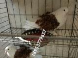 芙蓉马甲观赏鸽 美河马观赏鸽 邮鸽大鼻子观赏鸽出售 60多种