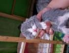 精品蓝猫出售