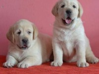 苏州拉布拉多一本地养殖狗场一直销各种世界名犬 常年售卖