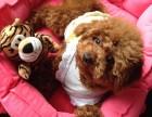 纯种泰迪熊犬,颜色品种齐全证健康纯种,疫苗驱虫已做