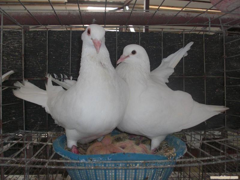 元宝鸽出售图片