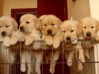 好狗不多 喜欢的抓紧 自家繁殖金毛幼犬