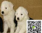 缕赛级双纯血统白头通背古牧幼犬销售免疫齐全包