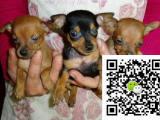 小鹿犬幼犬图片 小鹿犬幼犬价格 小鹿犬幼犬多少钱一只