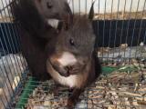 魔王黄山红腹雪地松鼠,龙猫刺猬宠物幼崽出售