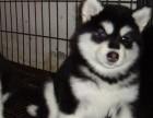 呈贡买阿拉斯加 呈贡买雪橇犬 呈贡买狗请进