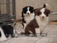 自家养殖场繁殖出售边境牧羊犬 深圳买边牧首选 包健康纯种