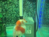 转让兰寿金鱼