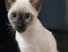 暹罗猫1100元
