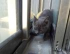 蓝猫小公1300蓝猫小母1800 猫咪价格以标题为