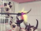 低价出售暹罗猫宝宝