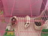 出售四个月荷兰猪两只带笼子尿垫各种用具