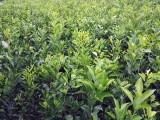 云南哪里有春见柑桔嫁接苗,宜宾春见柑橘树苗,批发耙耙柑桔苗