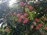 山东潍坊纸袋红星苹果产地行情好价格便宜了