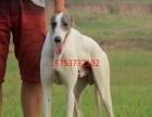 出售会捕猎的纯种格力犬价格优惠
