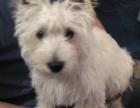 纯种西高地白梗幼犬出售 不掉毛无体臭好打理小型