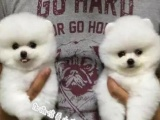 哈多利版球体博美 赛级血统 国外引进种犬 签协议