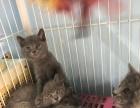 低价出售自家猫咪生的蓝猫宝宝
