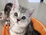 美国短毛猫/美短银虎斑妹妹/虎斑猫/纯种猫