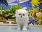 长春哪里有加菲猫卖 自家繁殖 品相** 多只可挑