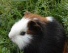 自家繁殖豚鼠活体天竺鼠宠物猪荷兰猪