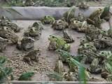 安徽虎纹蛙养殖技术推广中心 安徽休宁虎纹蛙养殖场