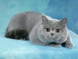 威海哪里有蓝猫卖 蠢萌型 健康无廯送货上门 支持空运