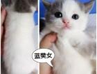 家养繁殖的英短小猫咪找新主人!