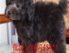 天津哪里有贵宾犬出售 精品贵宾多少钱 贵宾幼犬图片价格