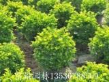 深圳黄金叶球形批发,深圳黄金叶种植基地