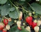 老钱牛奶草莓采摘园