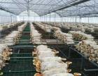 灵芝基地自产自销灵芝破壁孢子粉
