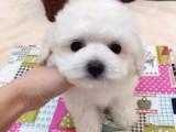 北京哪有卖比熊的 纯种法系比熊 北京京诺犬业出售高品质比熊犬