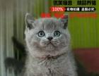 英国短毛猫蓝猫纯蓝英短活体纯种宠物