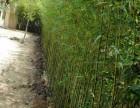 适合北方种植的竹子,竹子怎么养,竹子的栽种方法